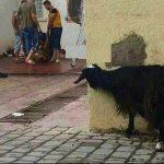Keçinin bakışı yürek sızlatıyor